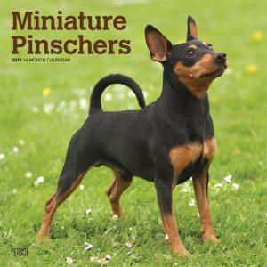 Miniature Pinschers 2019 12 x 12 Inch Monthly Square Wall Calendar