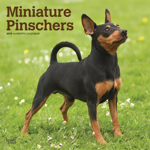 Miniature Pinschers 2019 12 x 12 Inch Monthly Square Wall Calendar