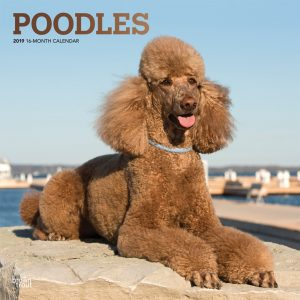 Poodles 2019 12 x 12 Inch Monthly Square Wall Calendar with Foil Stamped Cover