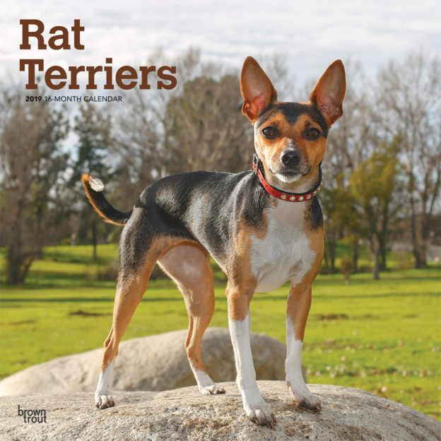 Rat Terriers 2019 12 x 12 Inch Monthly Square Wall Calendar