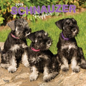 Schnauzer Puppies 2019 12 x 12 Inch Monthly Square Wall Calendar
