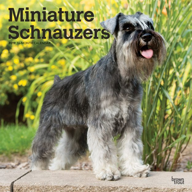 Miniature Schnauzers 2019 12 x 12 Inch Monthly Square Wall Calendar