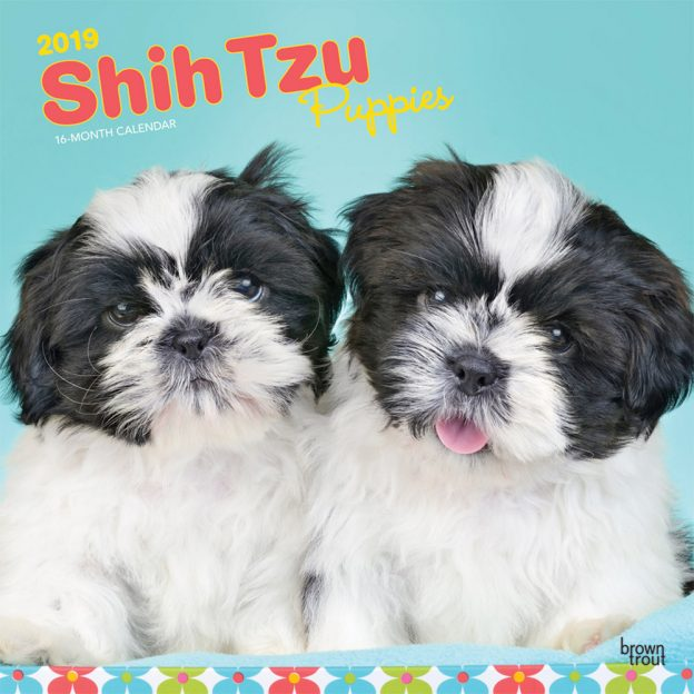 Shih Tzu Puppies 2019 12 x 12 Inch Monthly Square Wall Calendar