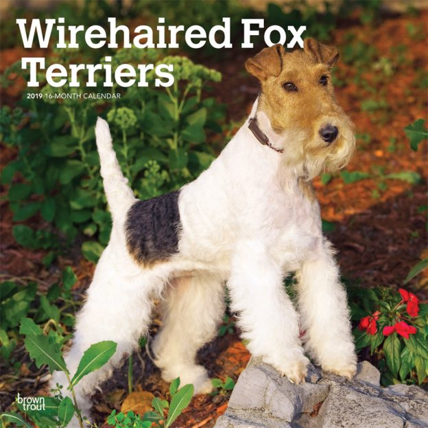 Wirehaired Fox Terriers 2019 12 x 12 Inch Monthly Square Wall Calendar