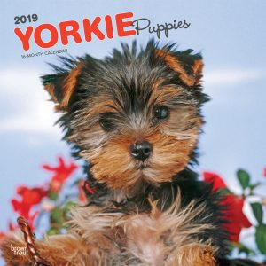 Yorkie Puppies 2019 12 x 12 Inch Monthly Square Wall Calendar
