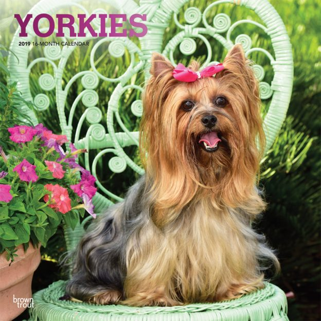 Yorkies 2019 12 x 12 Inch Monthly Square Wall Calendar with Foil Stamped Cover