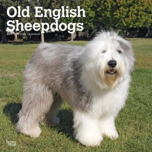 Old English Sheepdogs 2019 12 x 12 Inch Monthly Square Wall Calendar