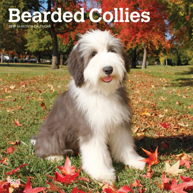 Bearded Collies 2019 12 x 12 Inch Monthly Square Wall Calendar