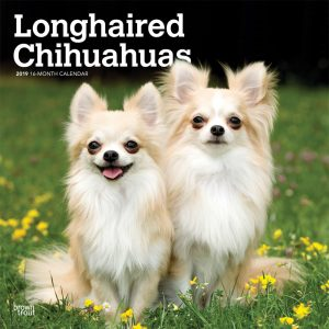 Longhaired Chihuahuas 2019 12 x 12 Inch Monthly Square Wall Calendar