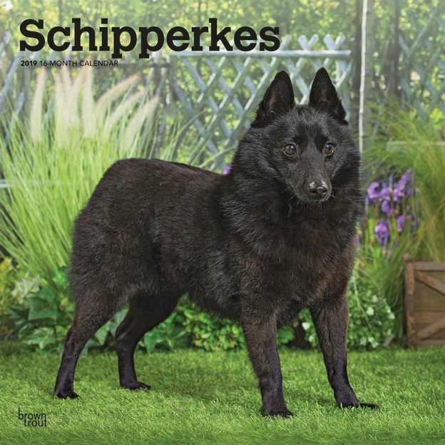 Schipperkes 2019 12 x 12 Inch Monthly Square Wall Calendar, Animals Dog Breeds