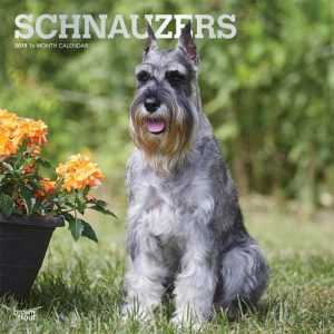 Schnauzers 2019 12 x 12 Inch Monthly Square Wall Calendar with Foil Stamped Cover