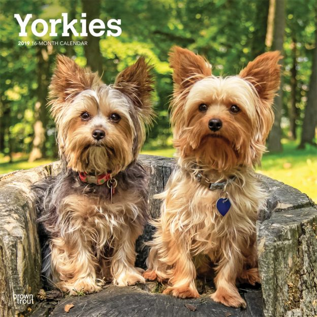 Yorkies International Edition 2019 12 x 12 Inch Monthly Square Wall Calendar