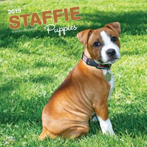 Staffie Puppies 2019 12 x 12 Inch Monthly Square Wall Calendar