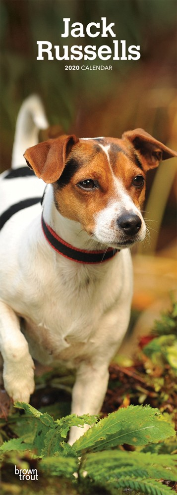 Jack Russells 2020 6.75 x 16.5 Inch Monthly Slimline Wall Calendar, Dog Canine