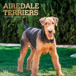 Airedale Terriers 2020 12 x 12 Inch Monthly Square Wall Calendar with Foil Stamped Cover, Animal Dog Breeds