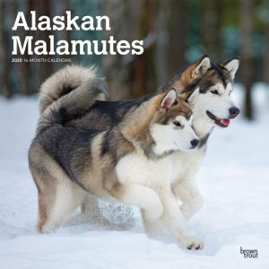 Alaskan Malamutes 2020 12 x 12 Inch Monthly Square Wall Calendar, Animals Dog Breeds