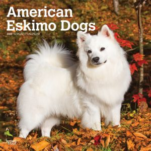 American Eskimo Dogs 2020 12 x 12 Inch Monthly Square Wall Calendar, Animals Dog Breeds American