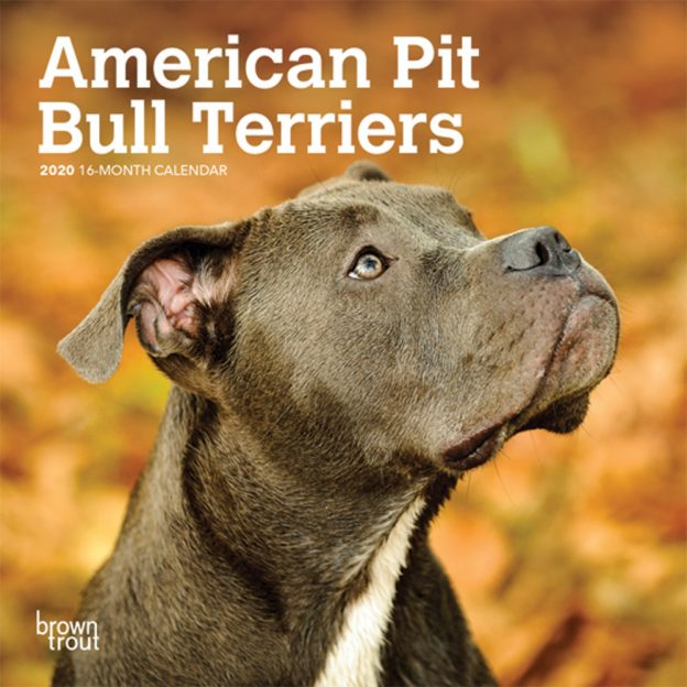 American Pit Bull Terriers 2020 7 x 7 Inch Monthly Mini Wall Calendar, Animals Dog Breeds
