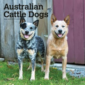 Australian Cattle Dogs 2020 12 x 12 Inch Monthly Square Wall Calendar, Animals Dog Breeds