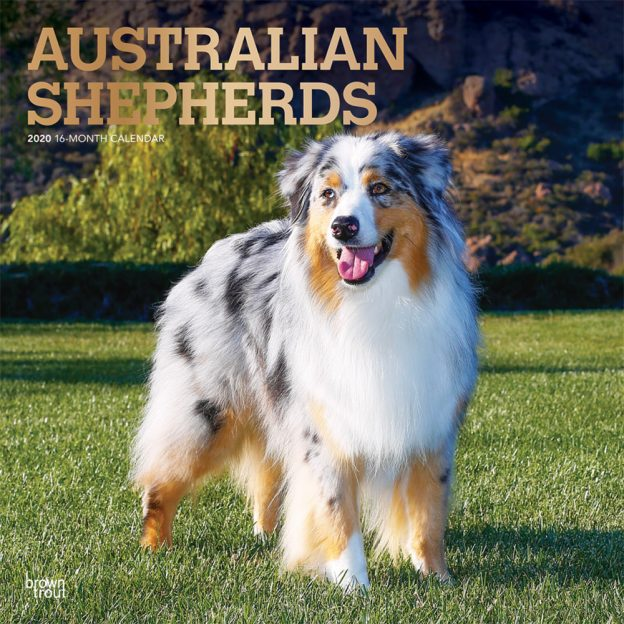 Australian Shepherds 2020 12 x 12 Inch Monthly Square Wall Calendar with Foil Stamped Cover, Animals Dog Breeds