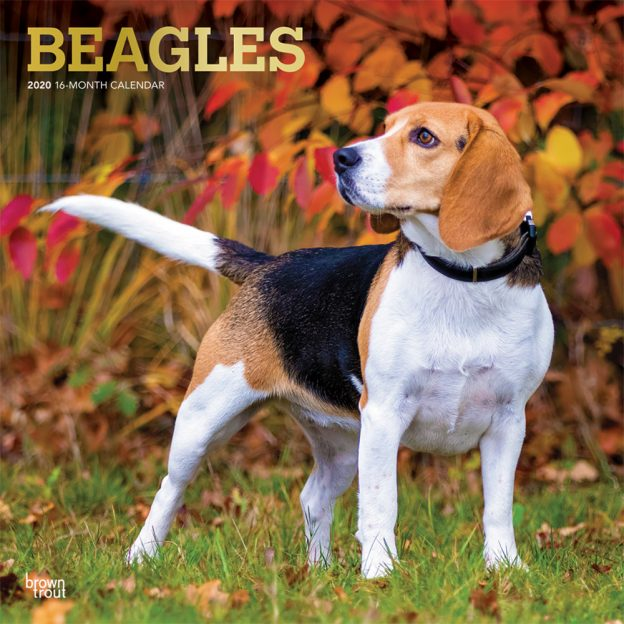 Beagles 2020 12 x 12 Inch Monthly Square Wall Calendar with Foil Stamped Cover, Animals Dog Breeds