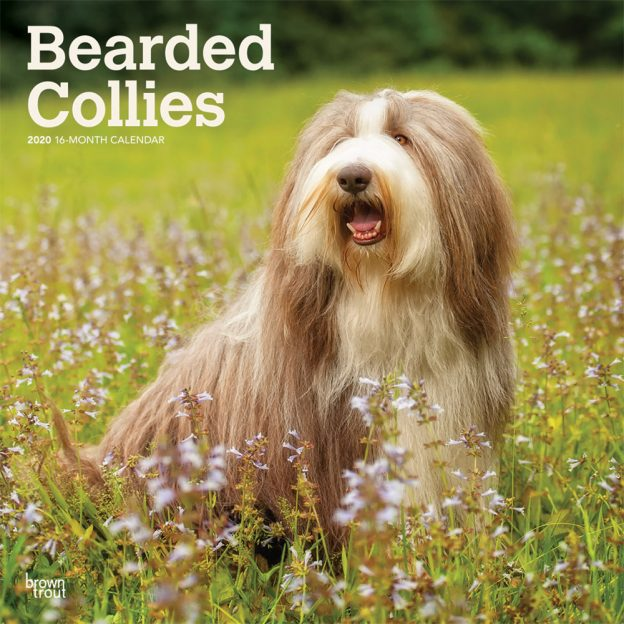 Bearded Collies 2020 12 x 12 Inch Monthly Square Wall Calendar, Animals Dog Breeds Bearded Collies