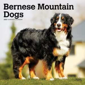 Bernese Mountain Dogs 2020 12 x 12 Inch Monthly Square Wall Calendar, Animals Dog Breeds