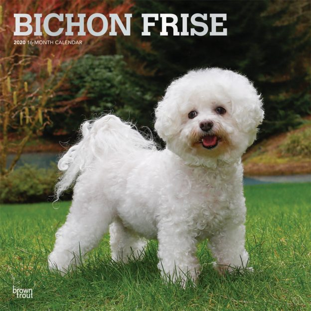 Bichon Frise 2020 12 x 12 Inch Monthly Square Wall Calendar with Foil Stamped Cover, Animals Dog Breeds
