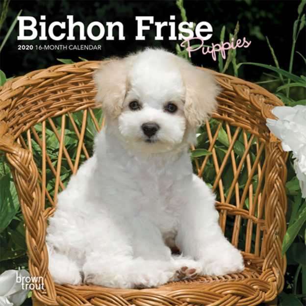 Bichon Frise Puppies 2020 7 x 7 Inch Monthly Mini Wall Calendar, Animals Dog Breeds Puppies