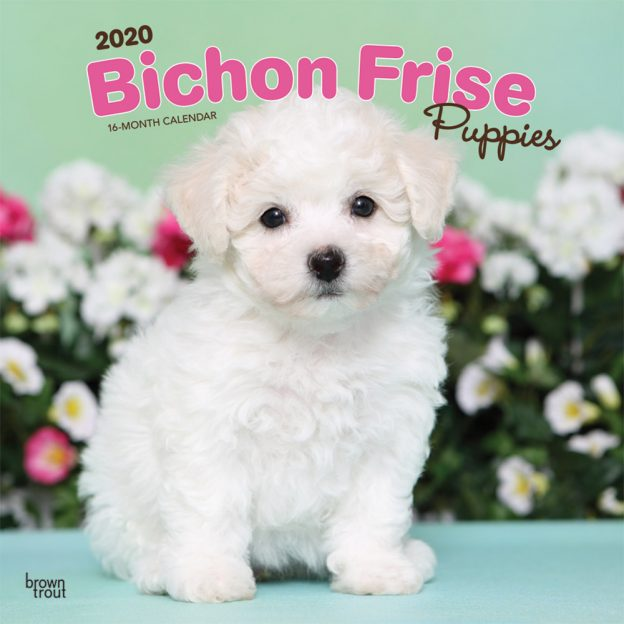 Bichon Frise Puppies 2020 12 x 12 Inch Monthly Square Wall Calendar, Animals Dog Breeds Puppies