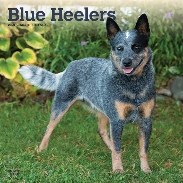 Blue Heelers 2020 12 x 12 Inch Monthly Square Wall Calendar, Animals Dog Breeds