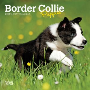 Border Collie Puppies 2020 7 x 7 Inch Monthly Mini Wall Calendar, Animals Dog Breeds Collie Puppies