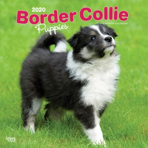 Border Collie Puppies 2020 12 x 12 Inch Monthly Square Wall Calendar, Animals Dog Breeds Collie Puppies