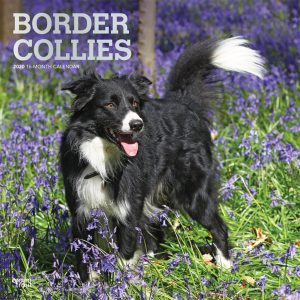 Border Collies 2020 12 x 12 Inch Monthly Square Wall Calendar with Foil Stamped Cover, Animals Dog Breeds Collies