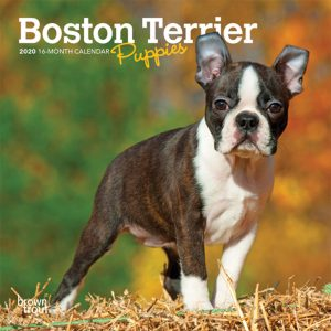Boston Terrier Puppies 2020 7 x 7 Inch Monthly Mini Wall Calendar, Animals Dog Breeds Terrier Puppies
