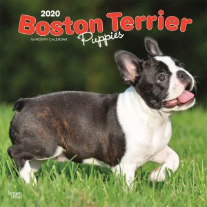 Boston Terrier Puppies 2020 12 x 12 Inch Monthly Square Wall Calendar, Animals Dog Breeds Terrier Puppies