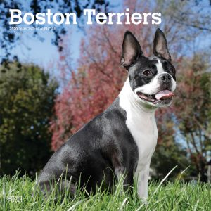 Boston Terriers 2020 12 x 12 Inch Monthly Square Wall Calendar, Animals Dog Breeds Terriers