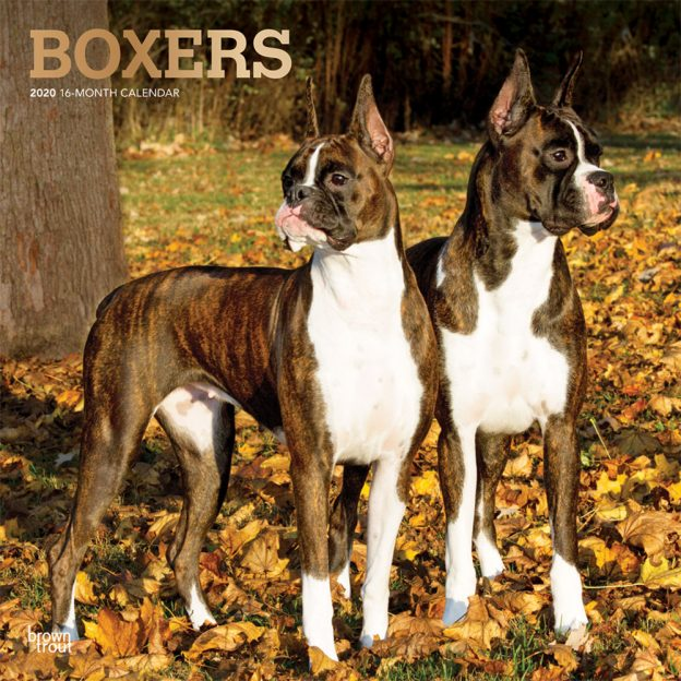 Boxers 2020 12 x 12 Inch Monthly Square Wall Calendar with Foil Stamped Cover, Animals Dog Breeds