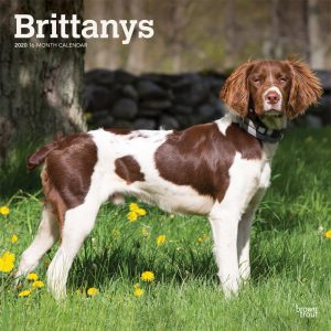Brittanys 2020 12 x 12 Inch Monthly Square Wall Calendar, Animals Dog Breeds