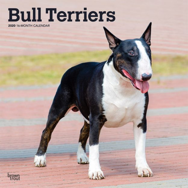 Bull Terriers 2020 12 x 12 Inch Monthly Square Wall Calendar, Animals Dog Breeds Terriers