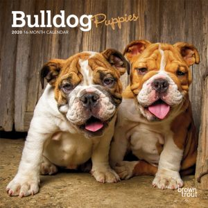 Bulldog Puppies 2020 7 x 7 Inch Monthly Mini Wall Calendar, Animals Dog Breeds Puppies