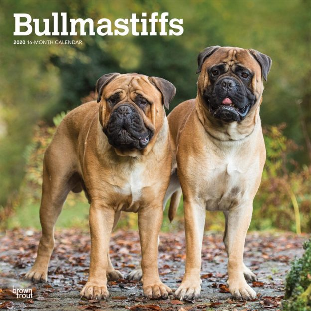 Bullmastiffs 2020 12 x 12 Inch Monthly Square Wall Calendar, Animals Dog Breeds