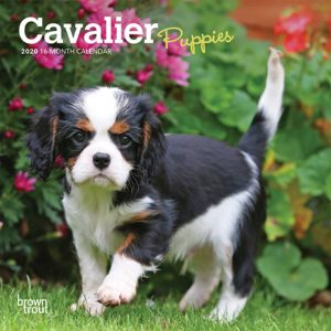 Cavalier King Charles Spaniel Puppies 2020 7 x 7 Inch Monthly Mini Wall Calendar, Animals Dog Breeds Puppies