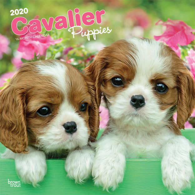 Cavalier King Charles Spaniel Puppies 2020 12 x 12 Inch Monthly Square Wall Calendar, Animals Dog Breeds Puppies