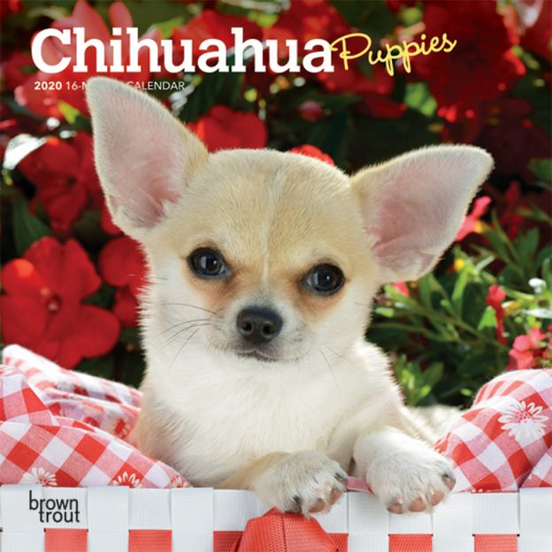 Chihuahua Puppies 2020 7 x 7 Inch Monthly Mini Wall Calendar, Animals Small Dog Breeds Puppies