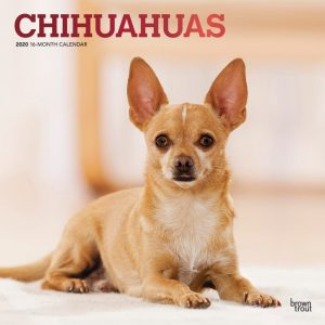 Chihuahuas 2020 12 x 12 Inch Monthly Square Wall Calendar with Foil Stamped Cover, Animals Small Dog Breeds Puppies