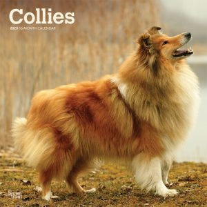 Collies 2020 12 x 12 Inch Monthly Square Wall Calendar, Animals Dog Breeds Collies