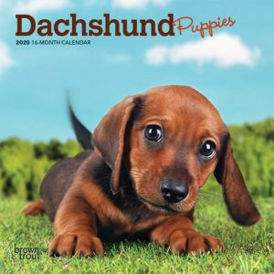 Dachshund Puppies 2020 7 x 7 Inch Monthly Mini Wall Calendar, Animals Dog Breeds Puppies