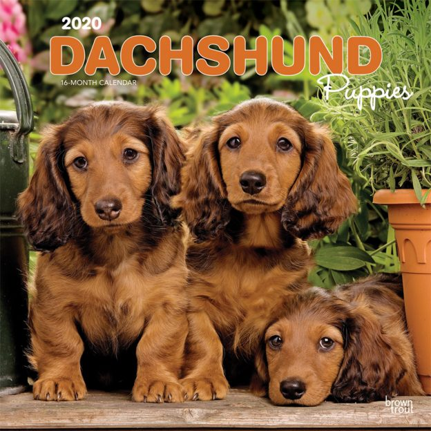 Dachshund Puppies 2020 12 x 12 Inch Monthly Square Wall Calendar, Animals Dog Breeds Puppies