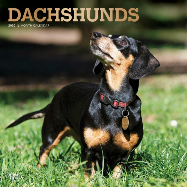 Dachshunds 2020 12 x 12 Inch Monthly Square Wall Calendar with Foil Stamped Cover, Animals Dog Breeds